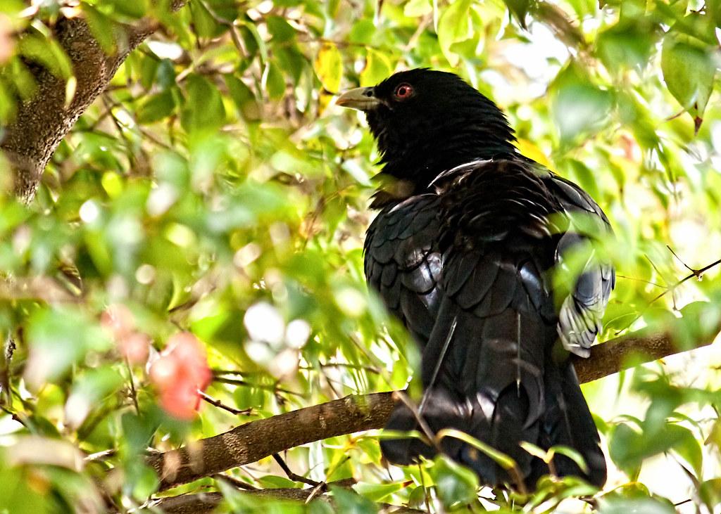 20111208 Male Australian Koel Aka Storm Bird This Koel