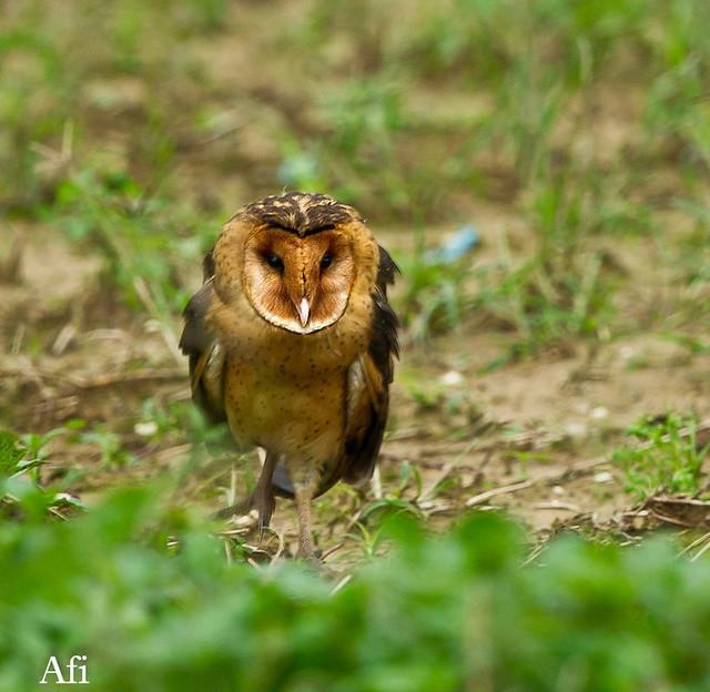 東方草鴞 Eastern Grass-Owl | 45分鐘..疾駛趕到...真開心! | Afi Chen | Flickr