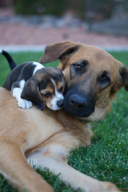 Rhodesian Ridgeback German Shepherd Mix Puppy : rhodesian, ridgeback, german, shepherd, puppy, Puppy, Rhodesian, Ridgeback, German, Shepherd, Han…, Flickr