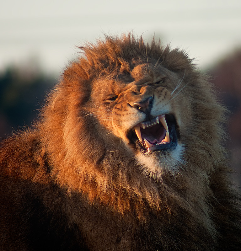 fierce lion at the