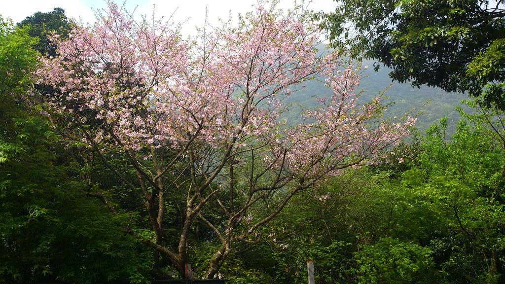 盛開的櫻花 | 雖然櫻花已經漸漸凋謝,但在路邊還是偶爾可以看到盛開的櫻花樹,襯著藍天,很美! | Yi-Ning ...