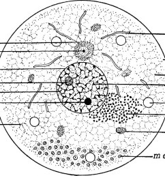 image from page 22 of the germ cell cycle in animals 1914 [ 984 x 814 Pixel ]