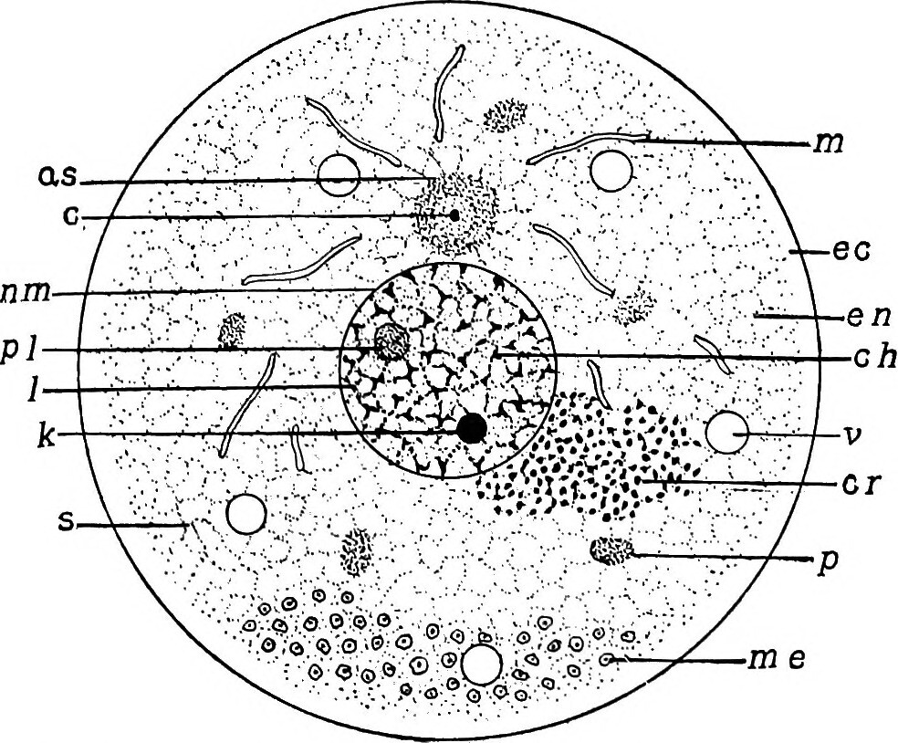 hight resolution of  image from page 22 of the germ cell cycle in animals 1914