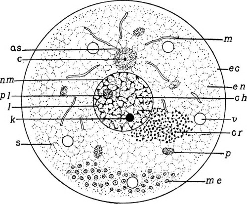 small resolution of  image from page 22 of the germ cell cycle in animals 1914