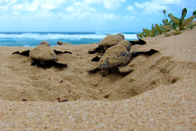 Loggerhead turtles - Mabibi
