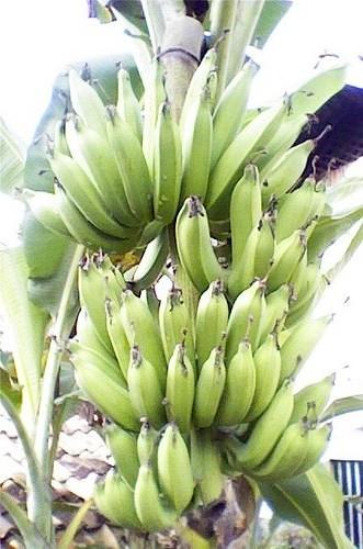 Pisang Raja Nangka : pisang, nangka, Pisang, Nangka., Flickr