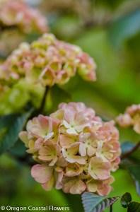 Pink Snowball Viburnum-2