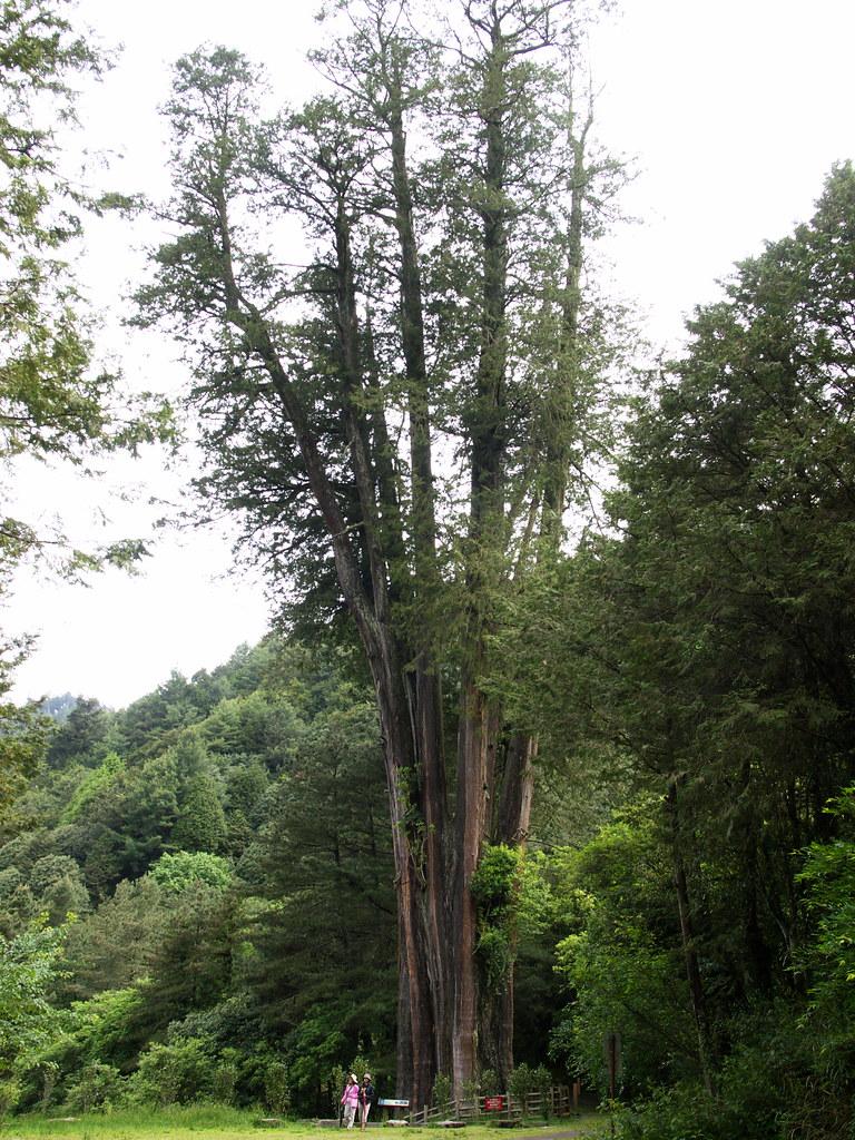 雪山神木   這是大雪山林道內最著名的神木,品種是紅檜,樹高約50公尺,年齡約1400歲,在臺灣神木界排名第11 ...