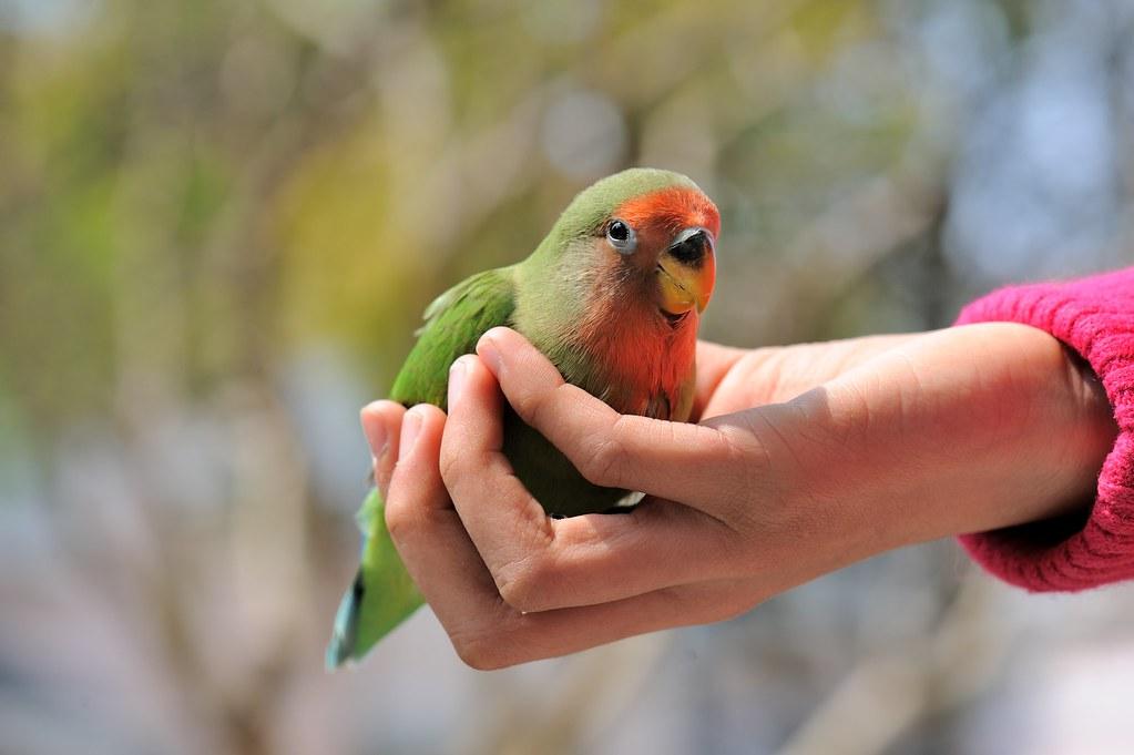 TCY_1309   牡丹鸚鵡-艾莉絲與小綠綠   蘇州一隅   Flickr