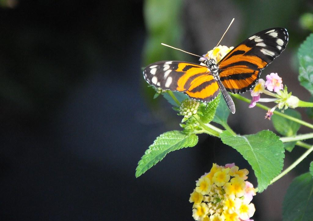 蝴蝶,蝴蝶,生得真美麗   蝴蝶,蝴蝶,生得真美麗。 頭戴著金絲,身穿花花衣。 你愛花兒,花兒也愛你 ...