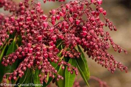 Red Pieris Japonica