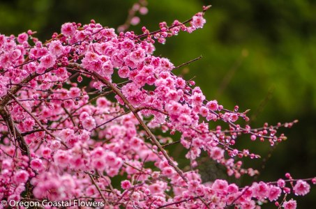Double Flowering Apricot-2
