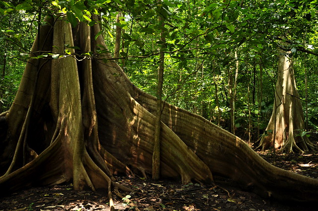 Buttress roots - Sulawesi