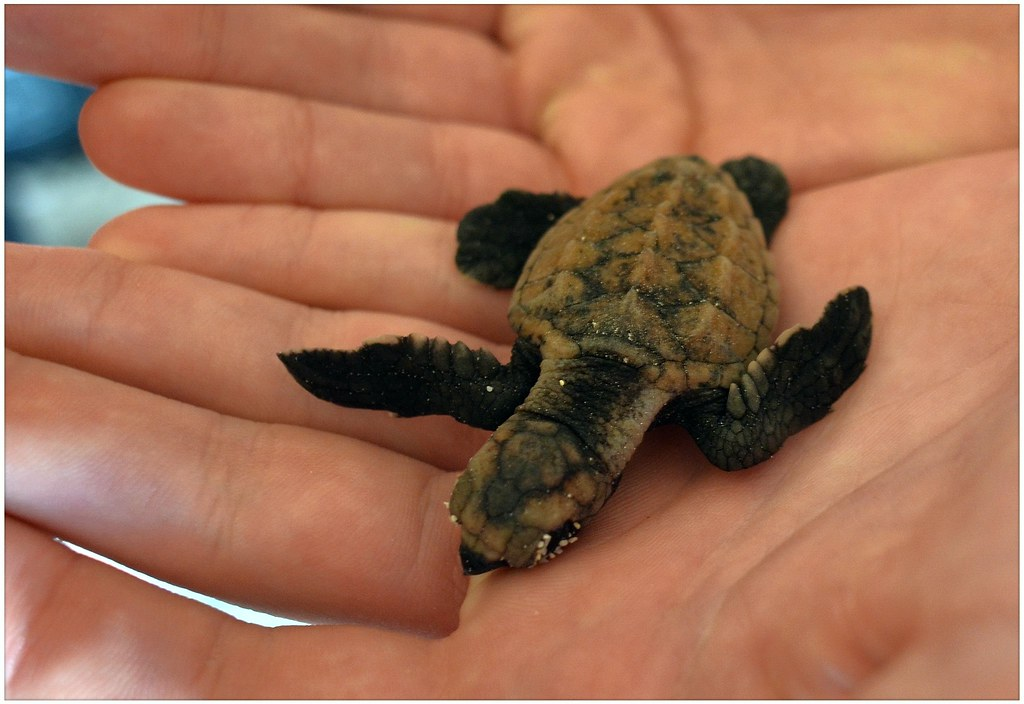 baby sea turtle so