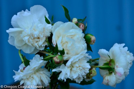 wholesale white peonies-1