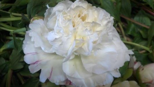 White Peony Rose Form