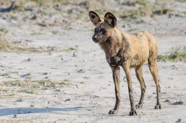 Image result for african wild dog