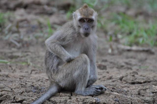 Cynomolgus macaque