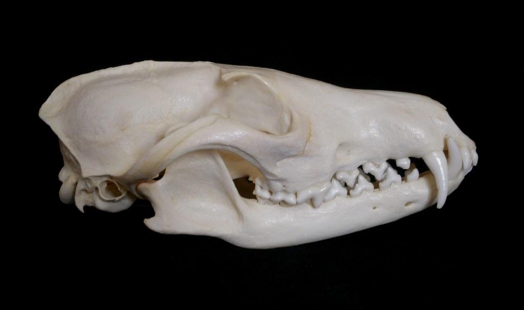 Cr 226 Ne De Renard Roux Red Fox Skull Vulpes Vulpes Flickr