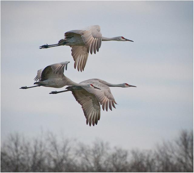 Jasper Pulaski Sandhill Cranes