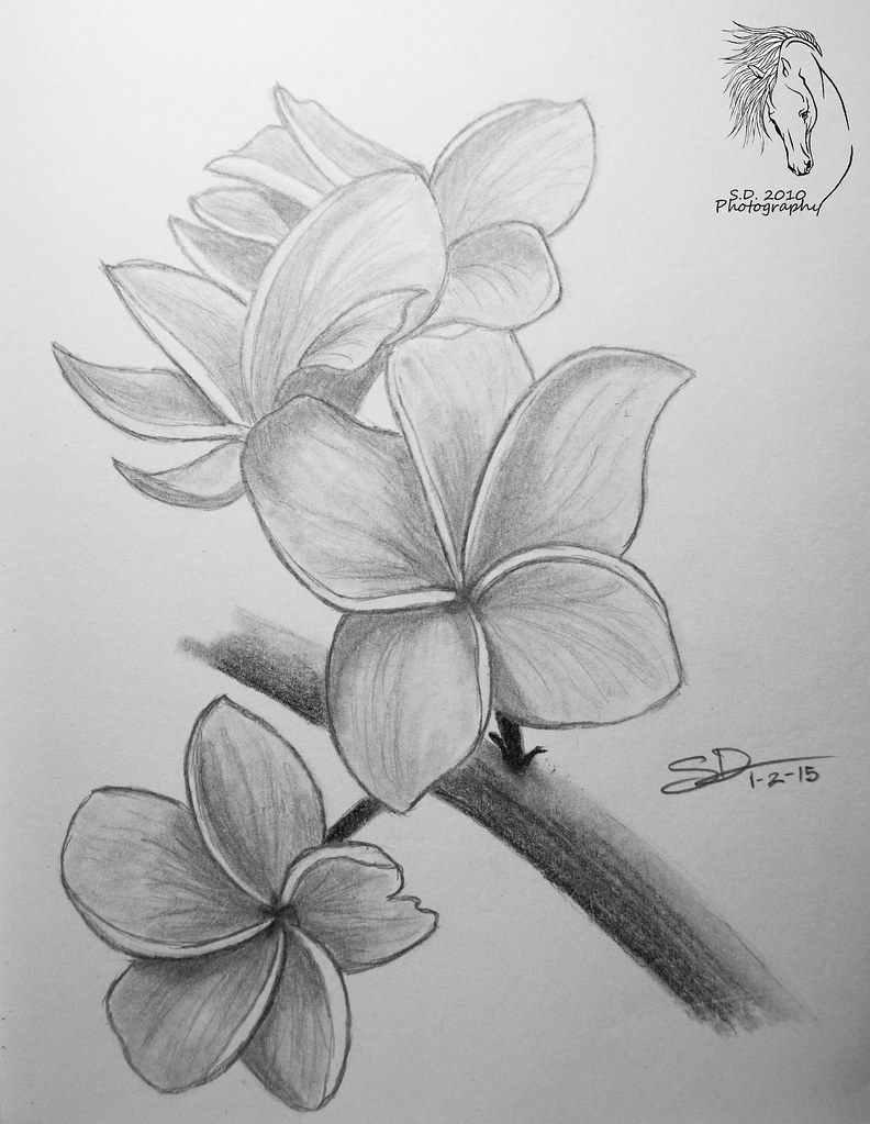 Plumeria Drawing : plumeria, drawing, Sketch, Plumeria, Flower, Always, Loved, These, Pl…, Flickr