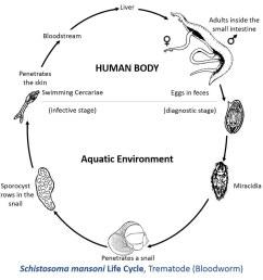 schistosoma mansoni life cycle [ 1024 x 981 Pixel ]
