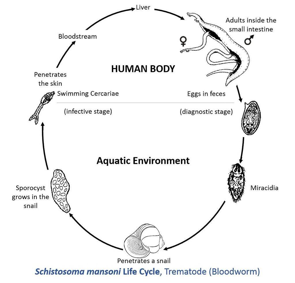 hight resolution of schistosoma mansoni life cycle