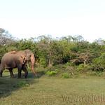 14 Viajefilos en Sri Lanka. Yala 05