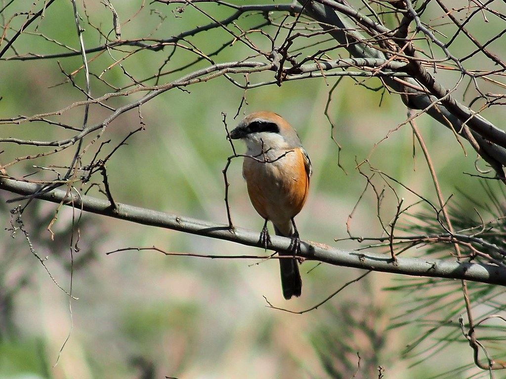 Bull-headed Shrike (Lanius bucephalus, モズ) near dirt steps along Yasugawa Sports Park