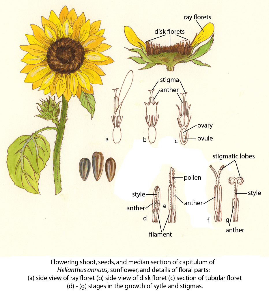 medium resolution of sunflower fao guida joseph
