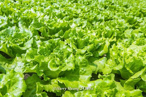 Harry_24369a.萵苣.美生菜.生菜.生食蔬菜.半結球萵苣.義大利萵苣.羅曼.羅蔓.蔬菜.契作農場.超商沙拉… | Flickr