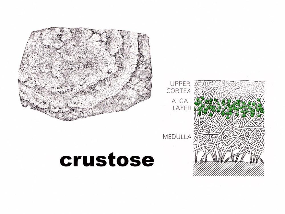 medium resolution of crustose diagram by wanderflechten crustose diagram by wanderflechten
