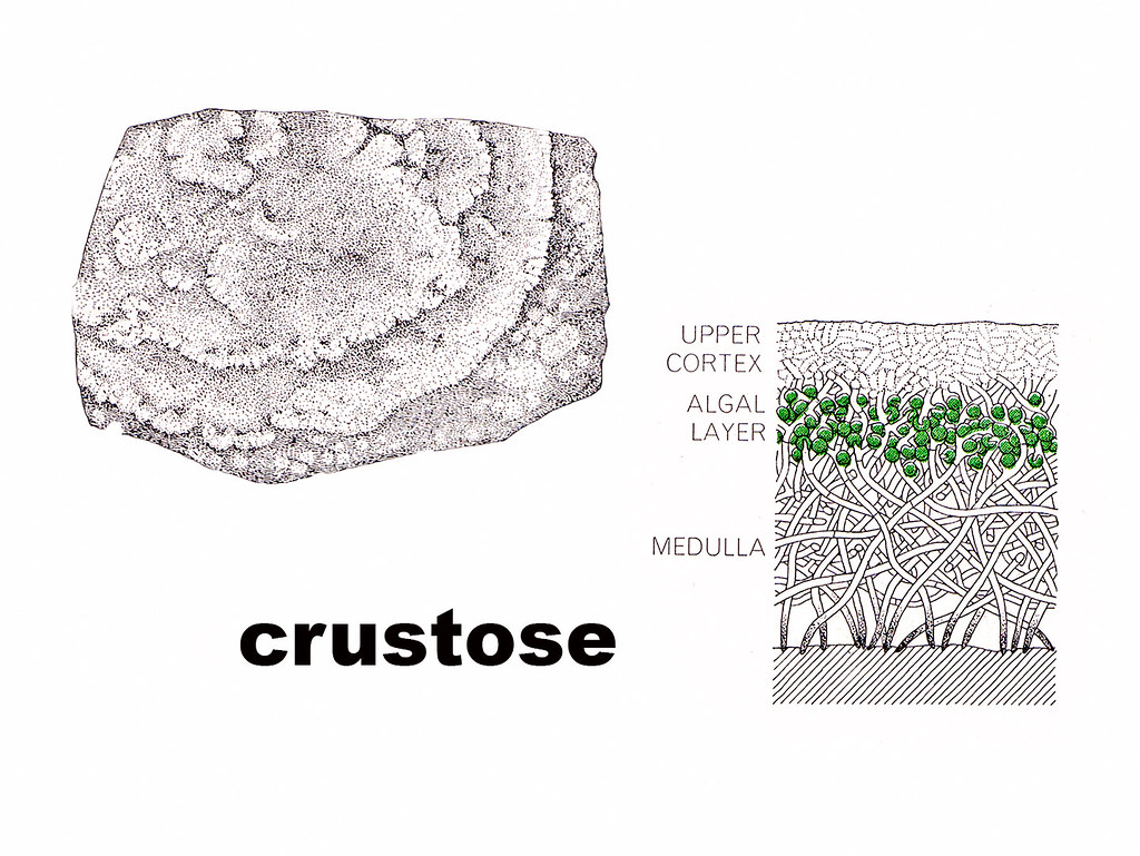 hight resolution of crustose diagram by wanderflechten crustose diagram by wanderflechten