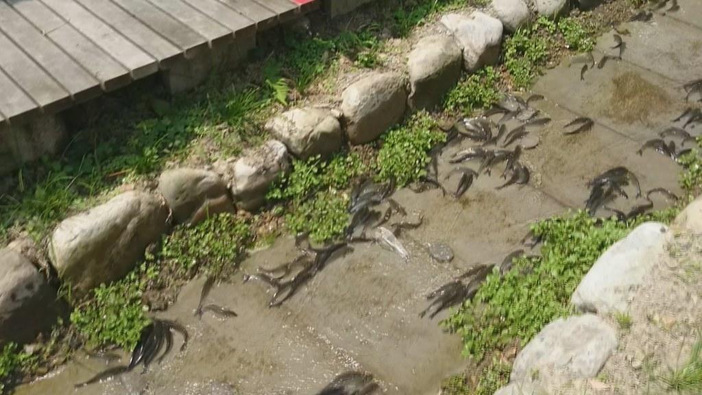 五月中旬第一批圓吻鯝魚來了 | 810-3-05 | TEIA | Flickr
