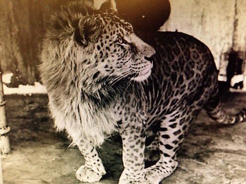 Leopon. Hybrid between male leopard and female lion