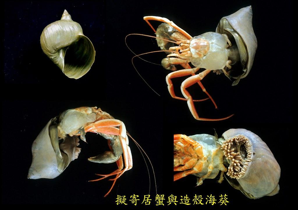 省去找房找到垃圾屋 這幾種「深海寄居蟹」終身免換殼   環境資訊中心