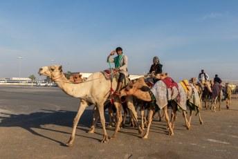 De kamelen, of eigenlijk zijn het dromedarissen, worden naar en van de race gebracht door de verzorgers.