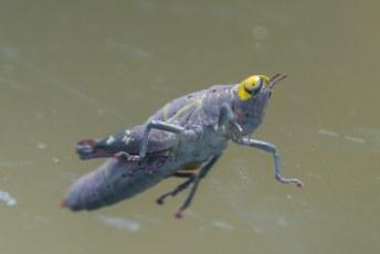 Deze krekel  landde op de voorruit, en met de telelens kon ik hem eens goed bekijken. En jij nu ook.