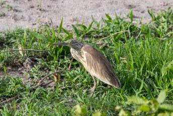 Onze lodge cq. camping had een eigen waterhole. Dus ook bijbehorende vogels zoals deze ralreiger.....