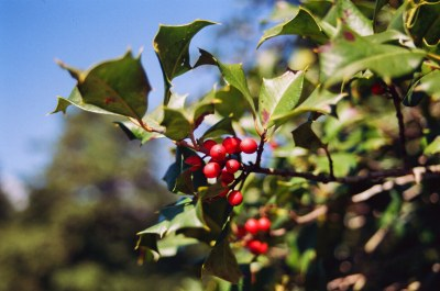 Holly on the holly trees