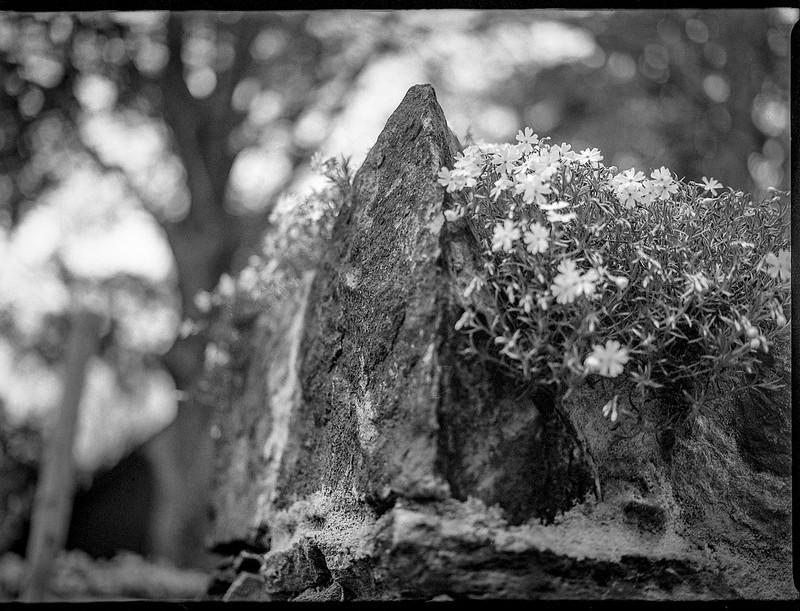 old stone wall, corner, top, tiny spring blossoms,  Asheville, NC, Mamiya 645 Pro, mamiya sekor 80mm f-2.8, 4.5.19