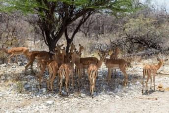 Ze zijn hier in Etosha geïntroduceerd vanuit Oost-Afrika.