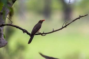Een ossenpikker, voor de verandering eens op een boom in plaats van een beest.