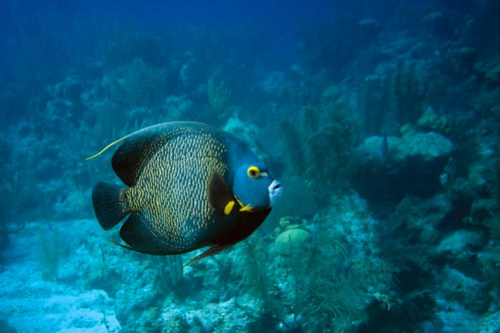 Stately Angelfish