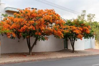 Dit is volgens mij een Royal Poinciana Delonix Regia, kom je overal op de wereld tegen in tropisch klimaat.