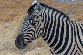 Zebra's schijnen volgens het meest recente onderzoek zwart-witte strepen te hebben als bescherming tegen muggen.