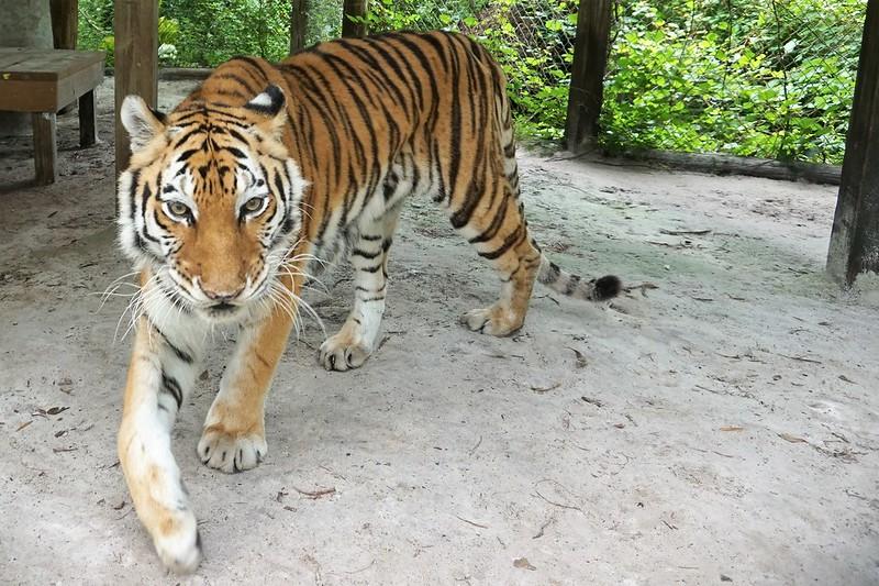 Cassie, a Bengal Tiger - Lions, Tigers & Bears Inc., Arcadia, Fla., April 14, 2019