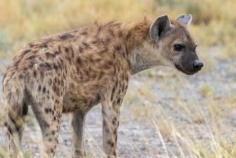 Uiteindelijk werd het hem toch te veel, je kunt hier goed zien dat het om een gevlekte hyena gaat. Een jager en geen aaseter zoals de gestreepte variant.