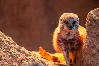 Yellow mongoose  (Cynictis penicillata)