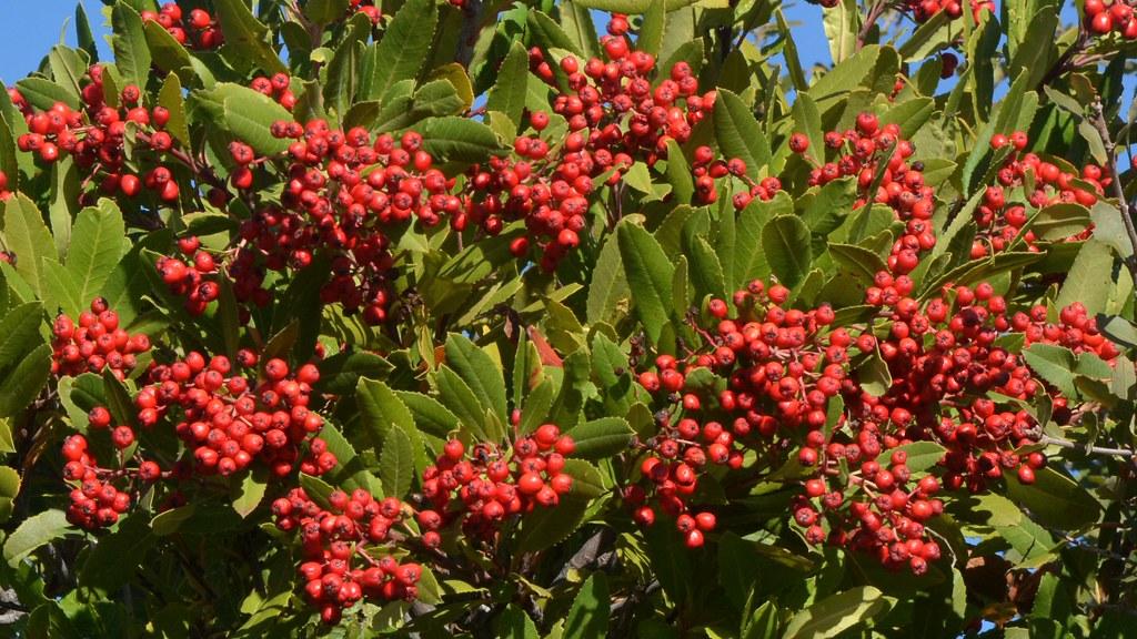christmas berries on native